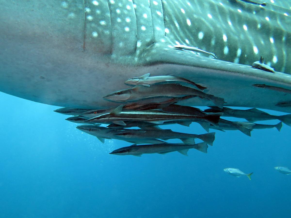 Whaleshark-6-remoras