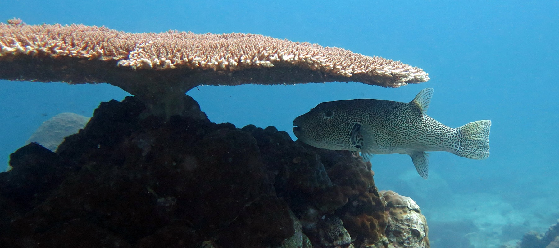 giant-pufferfish
