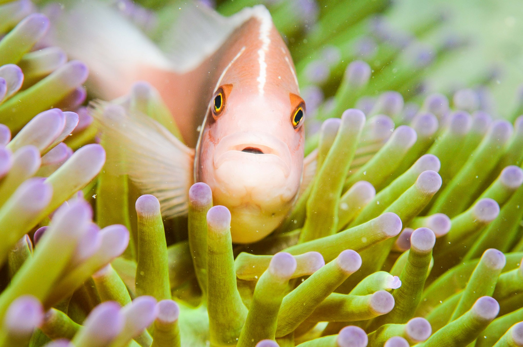 hello-anemonefish.jpg
